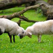 aberdeen fc sheep
